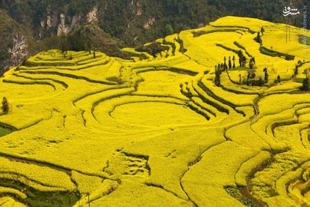 زمینهای کشاورزی کشت خردل در استان یوننان چین