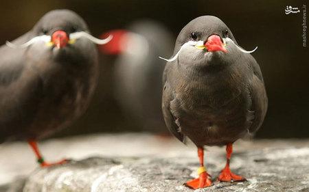 resized 738658 593 پرندگان عجیبی که تاکنون ندیده اید