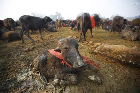 عکس جشنواره وحشیانه در نپال