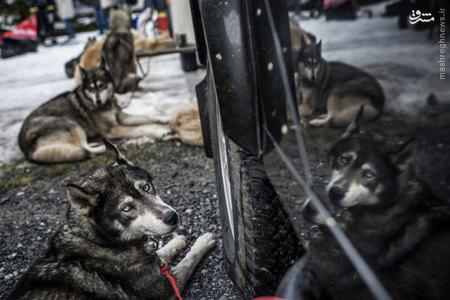 مسابقه كشيدن سورتمه توسط سگ ها در فرانسه