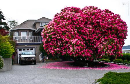 درخت رودودِندرون با ۱۲۵ سال قدمت در کانادا - درخت باشکوهی که در تصویر مشاهده میکنید از نظر فنی یک درخت نیست، در اصل بخش اعظم آن از بوتههای گل شکل گرفته است. رودودِندرون در اصل سَردهای از گیاهان است که 1,024 گونهی متفاوت را در بر میگیرد، اما اکثراً آنها را به نام آزالیا میشناسند.