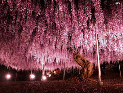 درخت ویستریایی با ۱۴۴ سال سن، ژاپن