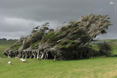 درختان بربادرفته، نیوزلند /  این درختان به صورت مداوم در معرض تندبادهای شدیدی قرار دارند که از سمت قطب جنوب میوزند، از این رو به چنین وضعیتی درآمدهاند. بدین شکل حتی در یک روز آرام و آفتابی نیز این درختان طوری به نظر میرسند که گویی هر لحظه از جا کنده خواهند شد.