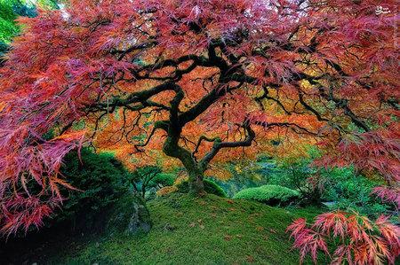 درخت اَفرای ژاپنی، پورتلند، ایالات متحده