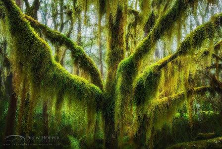 درخت راشی که با خزه پوشیده شده است، اورگِن، ایالات متحده /  درخت راش یا چوب سرخ جنوبی، بومی کشورهای آرژانتین و شیلی است، هر چند گونههایی از آن را میتوان در کشورهای دیگر یافت.