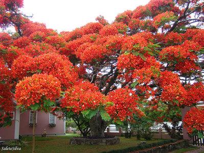 درخت آتشین، برزیل/  درختان خون اژدها به دلیل صمغ سرخ رنگشان به این نام خوانده میشوند. شیرهی این گیاه در رنگرزی و همچنین جلا بخشیدن به ساز ویولن مورد استفاده است. همچنین مردم محلی به عنوان درمانی برای بیماریهای مزمن از این صمغ بهره میبرند.