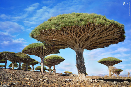 درخت خون اژدها، یمن/  درختان خون اژدها به دلیل صمغ سرخ رنگشان به این نام خوانده میشوند. شیرهی این گیاه در رنگرزی و همچنین جلا بخشیدن به ساز ویولن مورد استفاده است. همچنین مردم محلی به عنوان درمانی برای بیماریهای مزمن از این صمغ بهره میبرند.