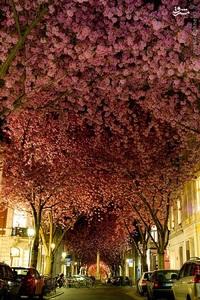 درختان شکوفه گیلاس، بن، آلمان