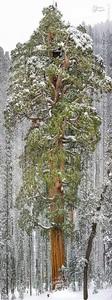پرزیدنت، سومین درخت غول پیکر سکویا در جهان، کالیفرنیا/  این درخت سکویای غول پیکر در پارک ملی سکویا در کالیفرنیا قرار گرفته است. این درخت عظیم 70 متر بلندی داشته و قطر آن در حدود 28 متر است.