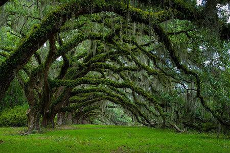 کوچه باغ بلوطها، دیکسی، کارولینای جنوبی /  این درختان بلوط دیدنی در دههی 1790 و در مزرعهی دیکسی در کارولینای جنوبی کاشته شدند.