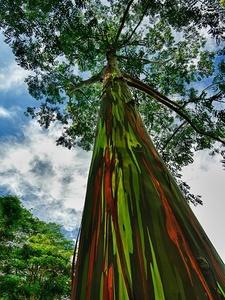 درخت اُکالیپتوس رنگین کمانی، کوایی، هاوایی /  درختان اکالیپتوس رنگین کمانی که در امتداد اقیانوس آرام جنوبی میرویند، در عین زیبایی مفیدو کارآمد است. الگوهای رنگی جالب توجهی که روی تنهی این درختان مشاهده میشود دیدنی بوده و علاوه بر این از چوب آنها در ساخت خمیر کاغذ نیز استفاده میشود.