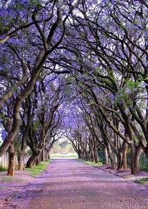 درختان پیچ اَناری، آفریقای جنوبی
