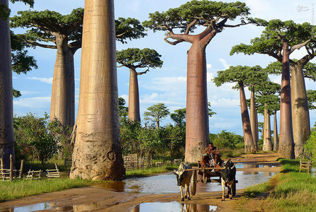 درختان بائوباب، ماداگاسکار /  این درختان بائوباب دیدنی که بومی جزیرهی ماداگاسکار هستند، به صورت معمول آب را در تنهی حجیم خود ذخیره میکنند تا برای زمان خشکسالی آب کافی در اختیار داشته باشند.