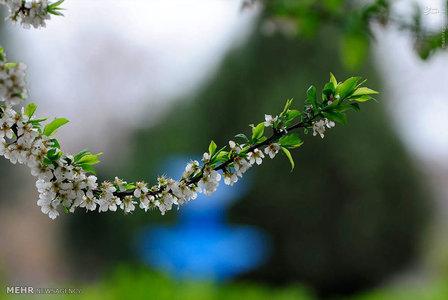 شکوفه های بهاری در باغ های استان البرز.