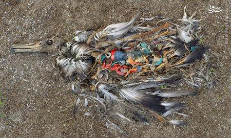 این مرغابی دریایی به?دلیل خوردن مقدار زیادی پلاستیک و زباله که توسط انسان?ها در سواحل جزایر آبسنگ میدوی واقع در اقیانوس آرام شمالی ریخته شده، جان خود را از دست داده است.  این صحنه امری معمول در این منطقه محسوب می?شود و این عکس نیز توسط ?کریس جردن? به ثبت رسیده است.