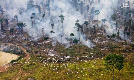 در این عکس ثبت?شده از ?دنیل? گاوهایی در حال چریدن در میان بقایا آتش?سوزی جنگل آمازون هستند، آن?ها آخرین سهم خود را از جنگل در آتش برمی?دارند.  جنگل آمازون که به سرعت در حال نابودی است و به ریه?های زمین شهرت دارد و برای حفظ توازن آب و هوای جهان، حیاتی است. بزرگ?ترین بخش این جنگل بارانی، یعنی ۶۰ درصد از آن در برزیل قرار دارد و نیمی از کشور پوشیده از جنگل است و پس از آن ۱۳ درصد آن در پرو قرار دارد.