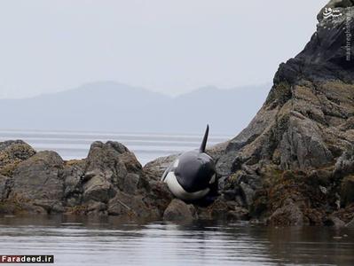 عکس/ عملیات نجات نهنگ
