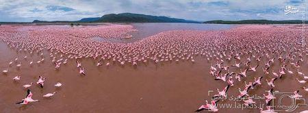 فلامینگوها در دریاچه بوگوریای کنیا