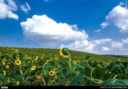 مزارع زیبای آفتابگردان در استان گلستان