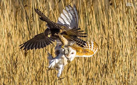 یک عکاس انگلیسی در سواحل نورتامبرلند انگلستان صحنه ای جالب از اتفاقات حیات وحش را ثبت کرد. در این عکس تلاش یک جغد را برای ربودن شکار یک عقاب که یک موش صحرایی است را میبینیم