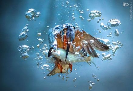 لحظه شکار ماهی به دست یک مرغ ماهی خوار در شهر پالووک کرواسی