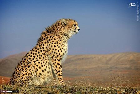 تنها حیات وحش ایران موش و سوسک است. یوزپلنگ ایرانی که یک اسم بیمعنی است!