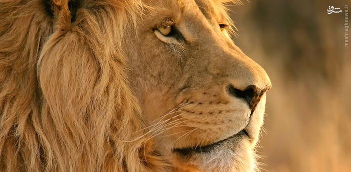 14. شیر پادشاهان جنگل در یک سال به طور متوسط جان 70 نفر را میگیرند.