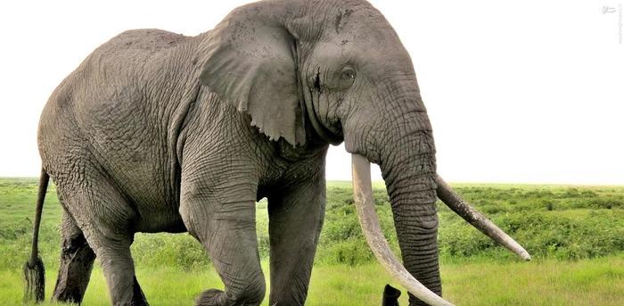 8. فیل  فیل ها در یک سال به طور متوسط جان 500 نفر را میگیرند.