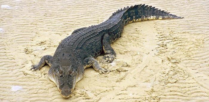 7. تمساح  تمساح ها در یک سال به طور متوسط جان 1000 تا 1500 نفر را میگیرند.