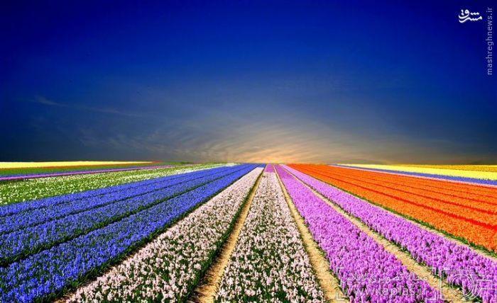 مزارع لاله، هلند