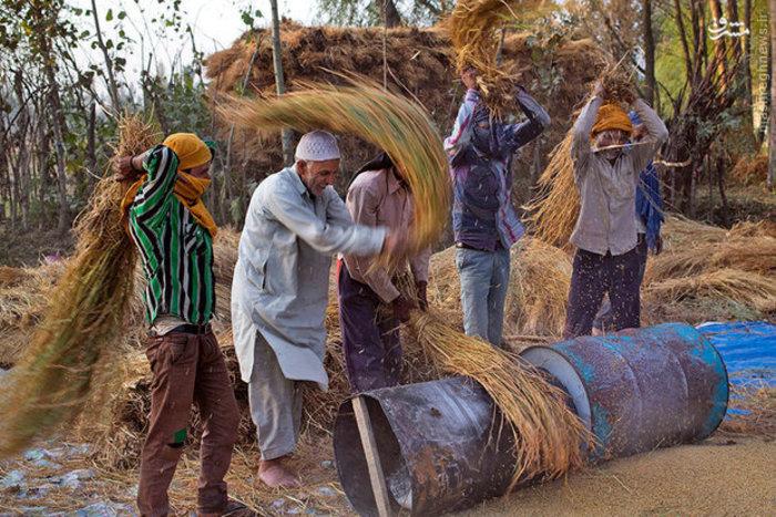 فصل برداشت برنج در «کشمیر» هند