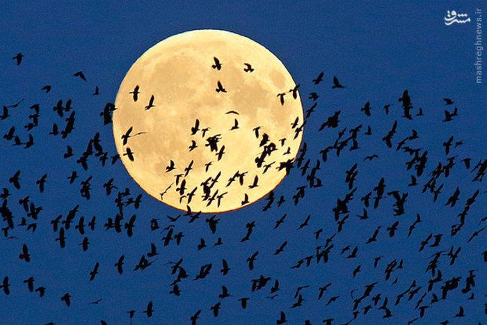 پرواز دسته ای از پرنده ها مقابل ماه کامل در آسمان «بلاروس»