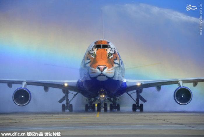 نقاشی تصویر ببر روی دماغه هواپیمای مسافربری در روسیه