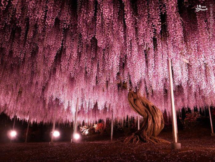 این درخت گل ۱۴۴ ساله، بزرگترین درخت گل در این نوع در ژاپن است.