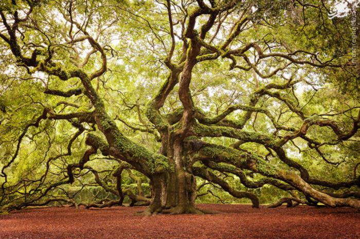 جزیرهی جان در کاریلونای جنوبی، این درخت بلوط زیبا را میزبانی میکند.