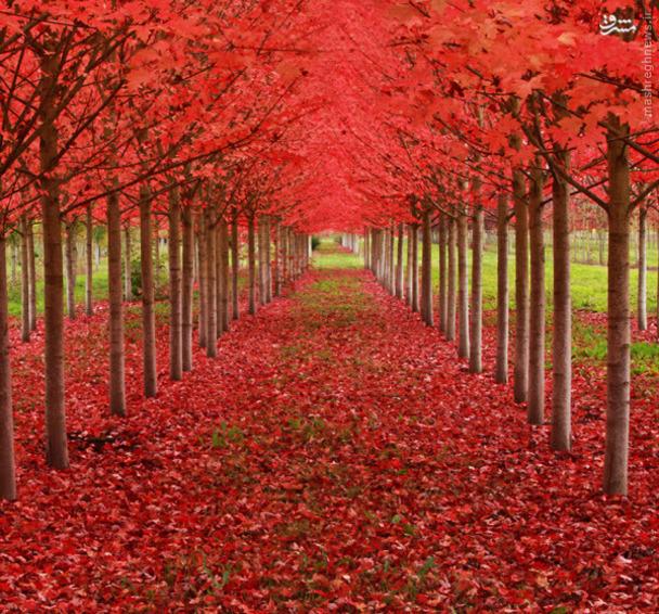 در اورگون، تونلی حاصلشده از مجموعهای از درختان افرا دیده میشود.
