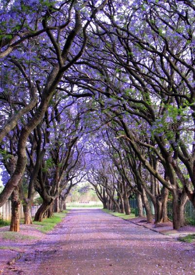 درخت پیچاناری در کولیلان آفریقای جنوبی