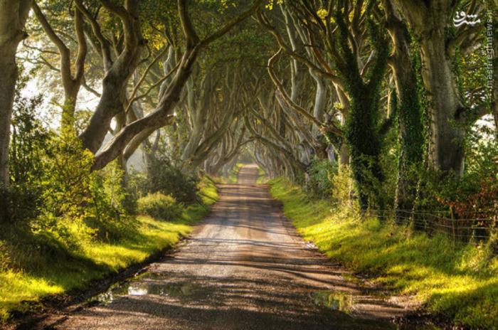 خیابانی از درختان در شمال ایرلند. این درختان در قرن هجدهم کاشته شدند. صحنههایی از «بازی تاج و تخت» در این مکان فیلمبرداری شدهاست.