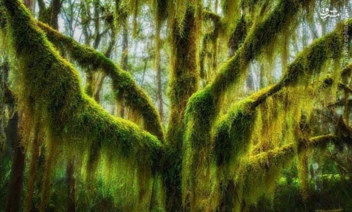 در اورگون، این درخت راش با آویزهایی از گیاهان و شاخ و برگهایش هم بسیار دیدنی است