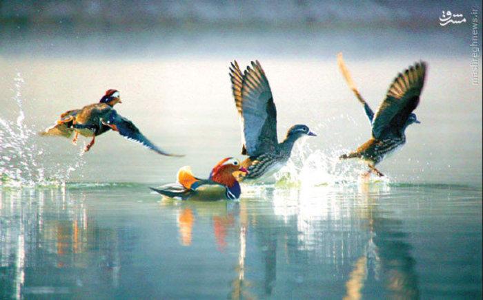 زیستگاه اردک های نادر در چین