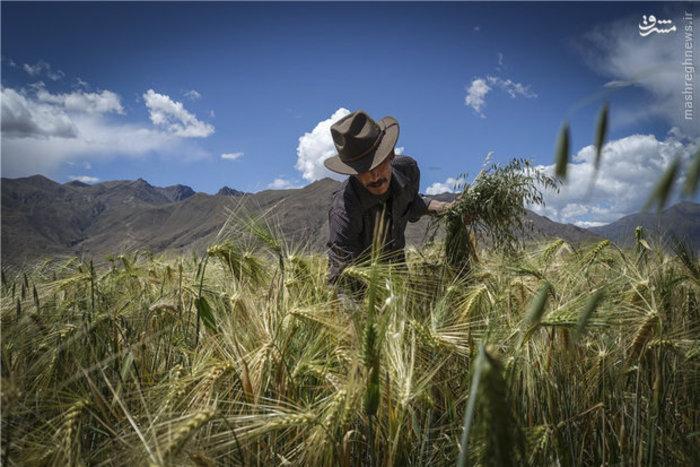 مزارع جو در تبت