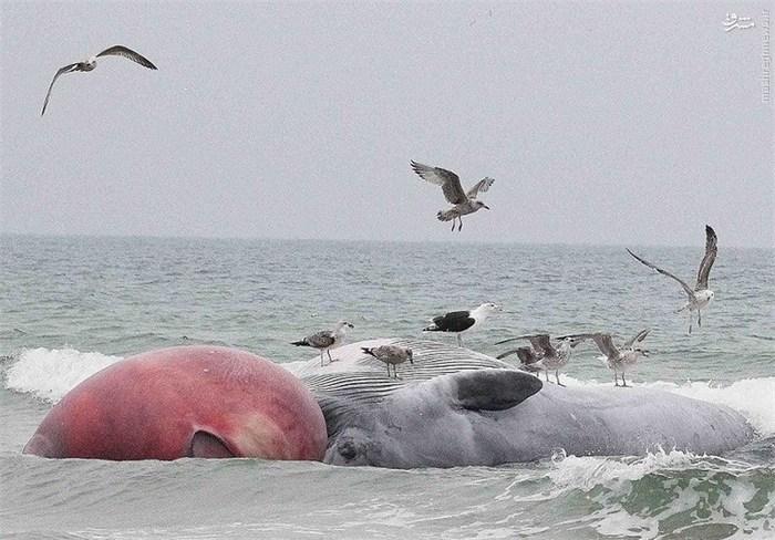 لاشه نهنگ غول پیکر در سواحل ایرلند