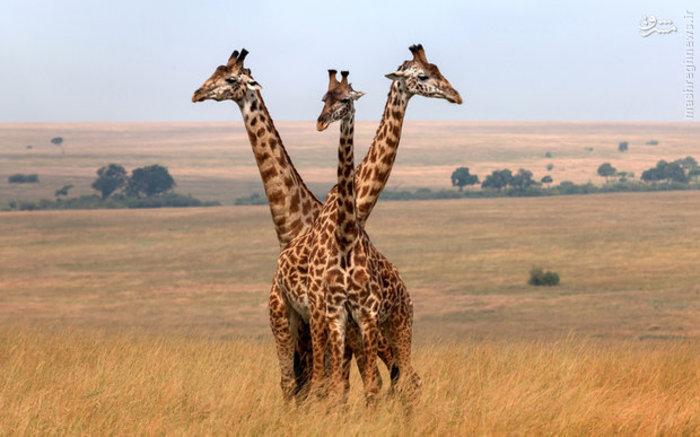 سه زرافه در پارک ملی «ماسایی مارا» کنیا
