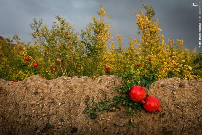 میوه بهشتی در باغات قم