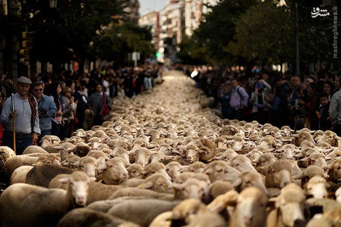 چوپانان سنتی در اعتراض به روش های مدرن دامپروری گوسفندان خود را به مرکز شهر مادرید هدایت کردند
