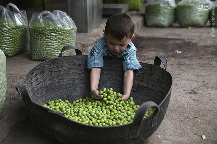 پسر بچه اهل سوریه با  زیتون های تازه چیده شده بازی میکند