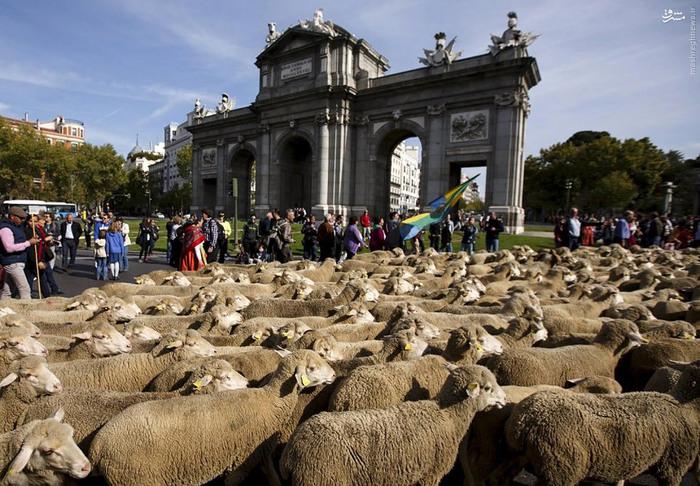 خیابان های مادرید اسپانیا پر از گوسفند شد (تصاویر),مجله مراحم
