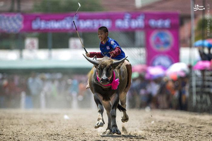 مسابقات محلی به مناسبت جشن برداشت برنج در استان «چونبوری» تایلند