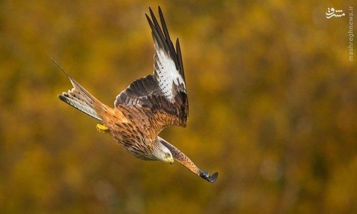 شیرجه عقاب در منظره پاییزی