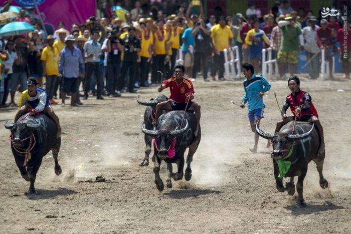 مسابقات بوفالو سواری در تایلند
